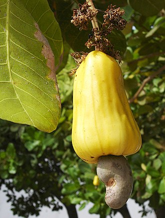 Brazilian traditional medicine - Several parts of the cashew plant, including the bark and seeds, are used medicinally.
