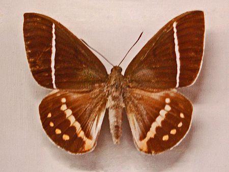 Amauta (chi bướm)