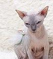 Cat - Sphynx. img 050.jpg