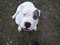 Catahoula Bulldog female.jpg