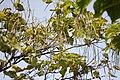 Catalpa speciosa - Severna katalpa (5)66.jpg