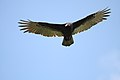Cathartes aura -Hamilton, Virginia, USA -flying-8.jpg