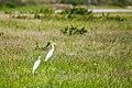 Cattle egret (34723488806).jpg