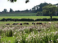 Cattle grazing on a pasture near Burgh Stubbs - geograph.org.uk - 550810.jpg