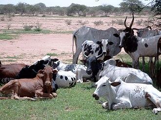 Pediplain - Cattle on an Oudalan pediplain, between Gorom and Oursi, Burkina Faso.