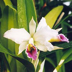 Cattleya percevaliana.jpg
