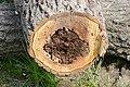 Cavités dans des bûches de peuplier blanc (15).JPG