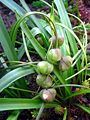 Cebulica dwulistna Scilla bifolia fruit 01.jpg