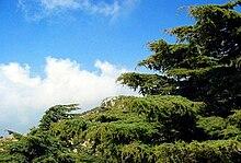 Cedar of lebanon 003.jpg