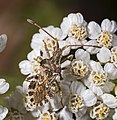 Centrocoris variegatus MHNT Fronton Dos.jpg