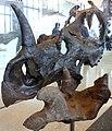 Centrosaurus apertus.jpg