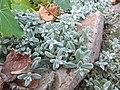 Cerastium tomentosum Cantilaga 02.jpg