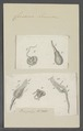 Cercaria lemnae - - Print - Iconographia Zoologica - Special Collections University of Amsterdam - UBAINV0274 105 13 0022.tif