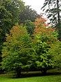 Cercidiphyllum japonicum JPG01a.jpg