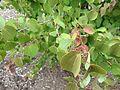 Cercidiphyllum japonicum close up.jpeg