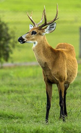 Marsh deer - Male marsh deer