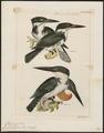 Ceryle amazona - 1700-1880 - Print - Iconographia Zoologica - Special Collections University of Amsterdam - UBA01 IZ16800269.tif