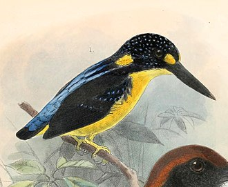 North Solomons dwarf kingfisher - Image: Ceyx meeki 1902