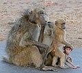Chacma Baboons (Papio ursinus) family (33086798722).jpg