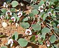 Chamaesyce albomarginata 3.jpg