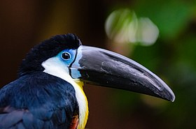 Channel-billed Toucan (30488649591).jpg