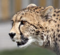 Cheetah Head 3 (4505742920).jpg