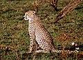 Cheetah cub (8462532765).jpg