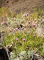 Cheirolophus canariensis LC0212.jpg