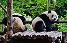 Chengdu Chengdu Panda Reserve Base Große Pandas 24.jpg