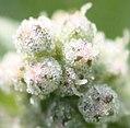 Chenopodium vulvaria flower (2).JPG