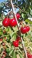 Cherries in young nsw.jpg