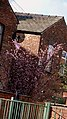 Cherry Tree in back garden of house in Deramore Street, Moss Side in Manchester - panoramio.jpg