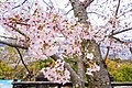 Cherry blossoms at Matsuyama Castle, Ehime Prefecture; April 2017 (16).jpg
