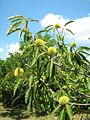 Chestnut tree Szakcs,Hungary August 2007.jpg