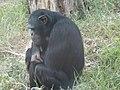 Chimpanzee 03.jpg