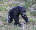 Chimpanzee 1d (5512034715).jpg