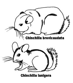 Chinchillas- croquis comparatif.jpg