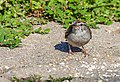 Chipping Sparrow (29263925457).jpg