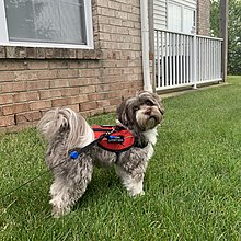 Havanese dog - Wikipedia