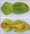 Choeradodis rhomboidea TPopp.jpg