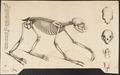 Choloepus didactylus - skelet - 1700-1880 - Print - Iconographia Zoologica - Special Collections University of Amsterdam - UBA01 IZ21000165.tif