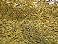 Chondrostoma toxostoma 02.JPG