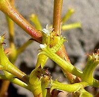 Chorizanthe brevicornu 2