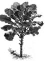 Chou caulet de Flandre Vilmorin-Andrieux 1883.png