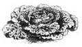 Chou pancalier de Touraine Vilmorin-Andrieux 1883.png