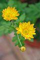 Chrysanthemum - Science City - Kolkata 2012-01-11 8053.JPG