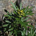 Chrysanthemum rupestre (bud).jpg