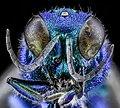 Chrysidid Wasp, U, Face, UT, Utah County 2013-08-09-16.56.13 ZS PMax (9550557952).jpg