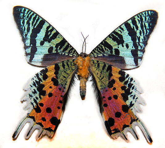Image of the underside of a Madagascan Sunset Moth