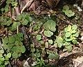 Chrysosplenium nagasei (leaf s4).jpg